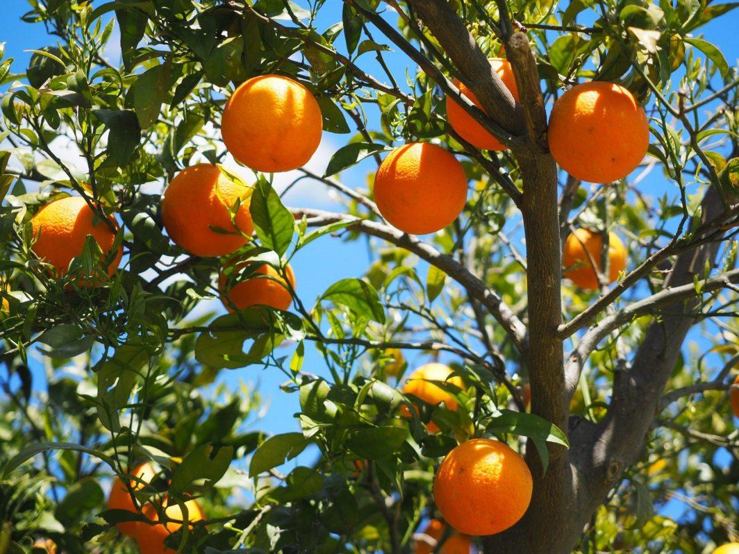 Orangenblütenwasser mit frischen Orangen